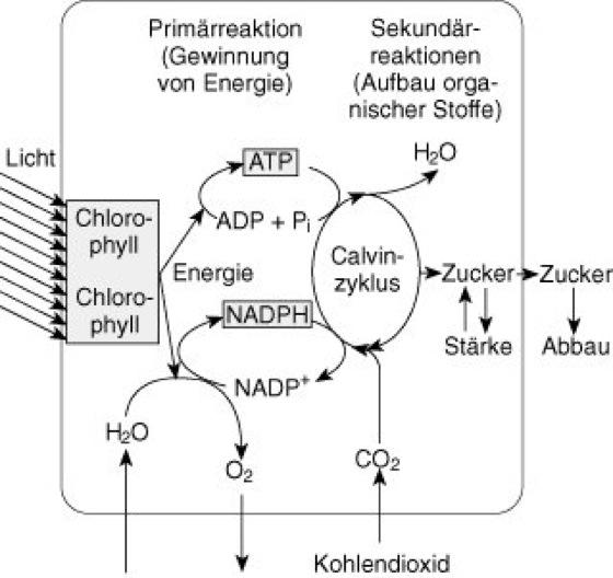 Fotosynthese Im überblick