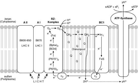 Photosynthese Bakterien