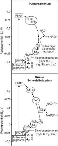 Bakterien Photosynthese