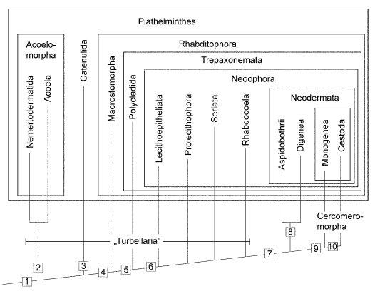plathelminthes stammbaum papilloma vírus pozitív jelentése