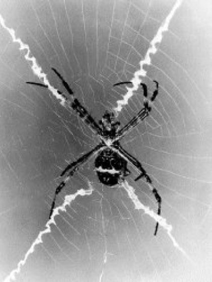 Radnetzspinnen