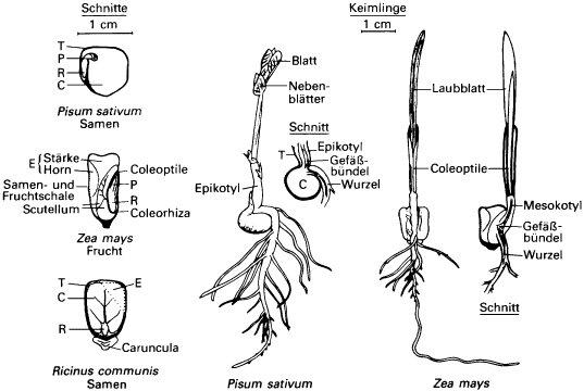 lexikon der biologie - Einkeimblattrige Pflanzen Beispiele