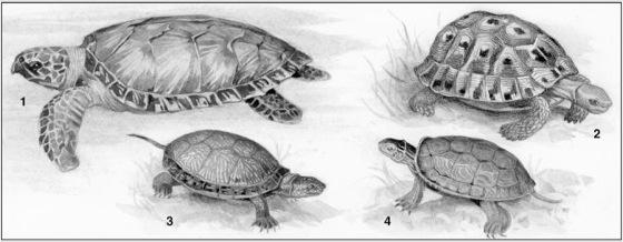 schildkröten  lexikon der biologie