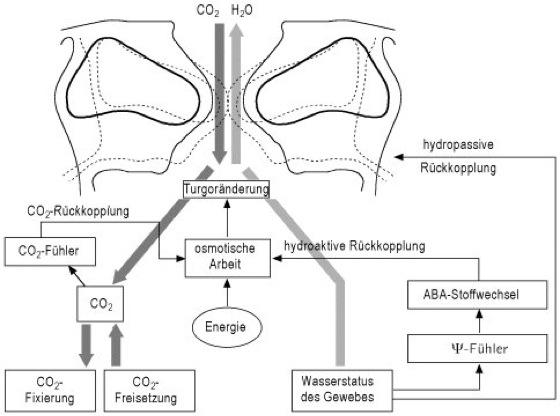 Spaltöffnungen - Lexikon der Biologie