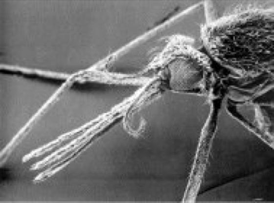 Stechmücken - Lexikon der Biologie