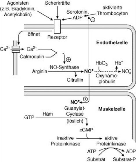acetylcholin erektion
