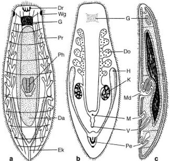 Exkretionsorgane plathelminthen. Parazita az agyban. Parazita az agyban: erősebb, mint hitték