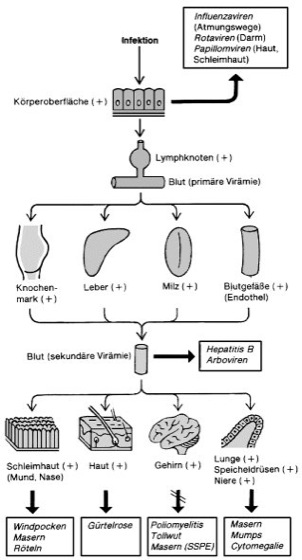 Slow Virus Infektion