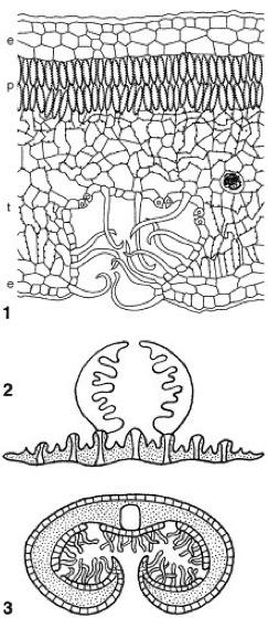 Xerophyten - Lexikon der Biologie
