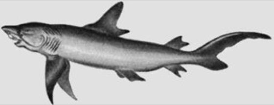 Blauhaie - Lexikon der Biologie