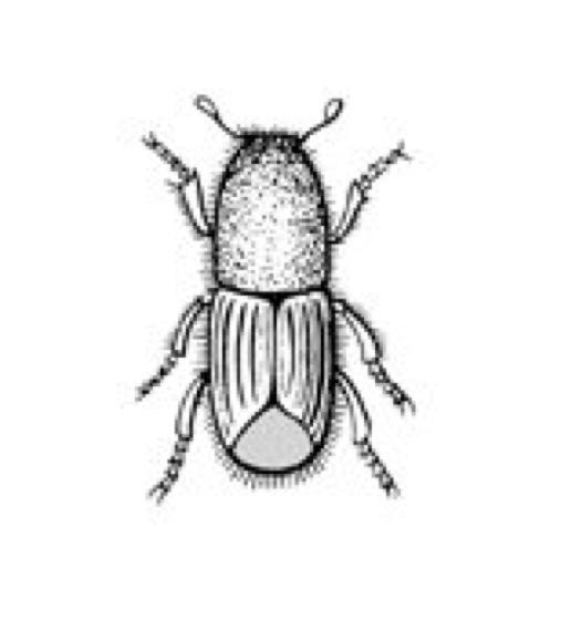 Top Borkenkäfer - Lexikon der Biologie #OV_86