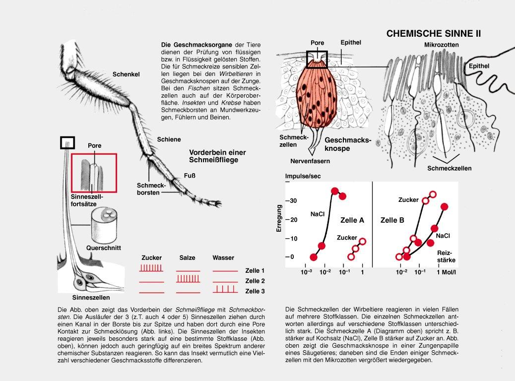 Ungewöhnlich Geschmacksknospe Diagramm Fotos - Anatomie Ideen ...