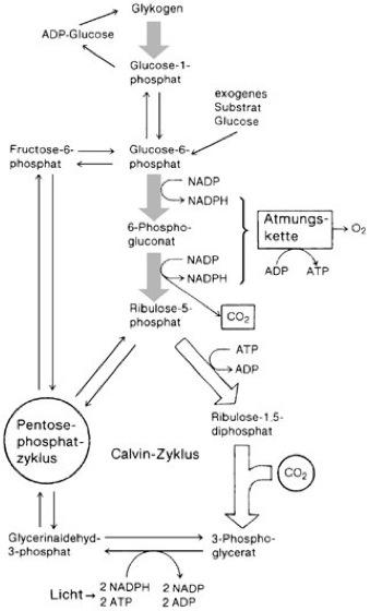 Cyanobakterien Photosynthese