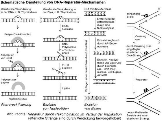 DNA-Reparatur