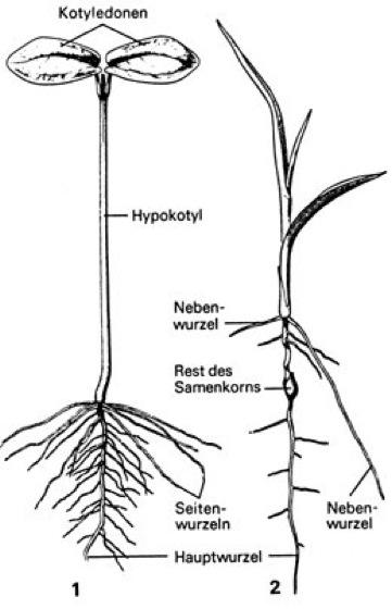 allorrhizie - Einkeimblattrige Pflanzen Beispiele