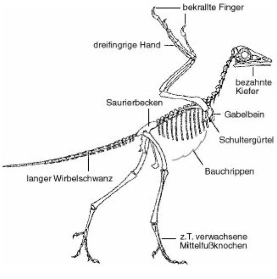 archaeopteryx lexikon der biologie