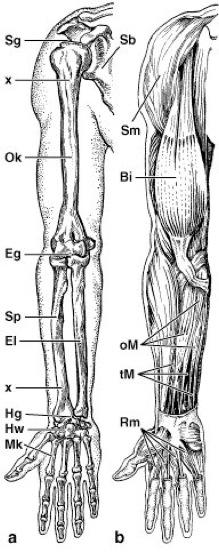 Arm - Lexikon der Biologie