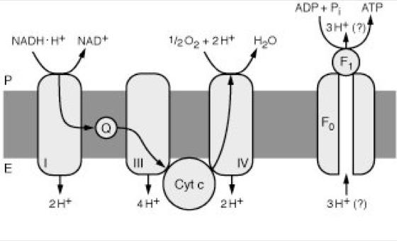 stoffwechsel mitochondrien
