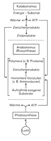 Bakterien - Lexikon der Biologie