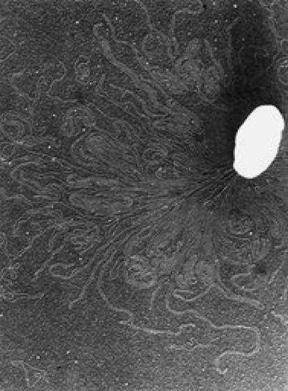 Bakteriengenetik Parasexualitt: Transformation
