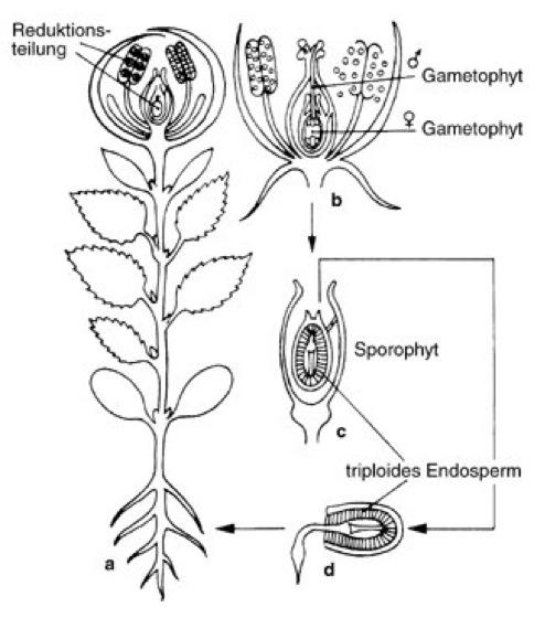 bedecktsamer - Einkeimblattrige Pflanzen Beispiele