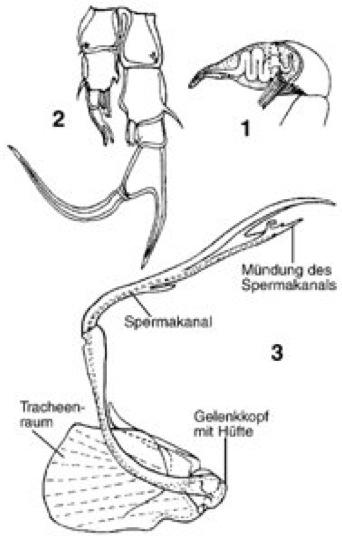 Begattungsorgane - Lexikon der Biologie