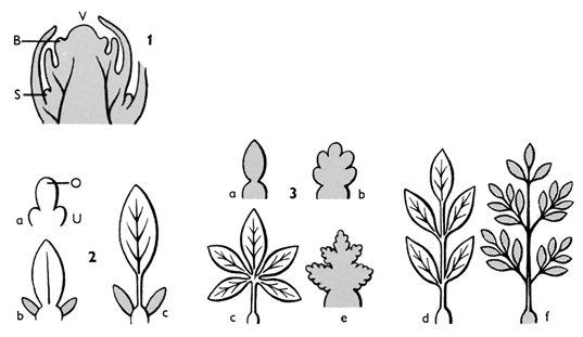 blatt lexikon der biologie - Einkeimblattrige Pflanzen Beispiele
