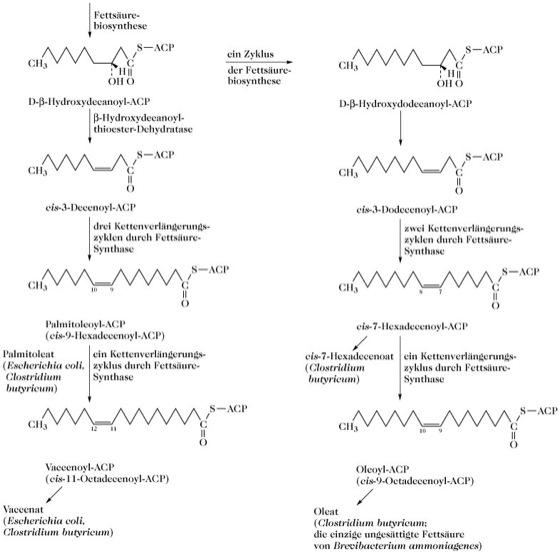 Ungesättigte Fettsäuren Lexikon Der Biochemie