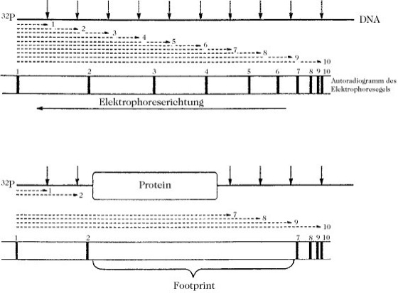 Footprinting - Lexikon der Biochemie