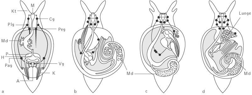 Gastropoda - Kompaktlexikon der Biologie