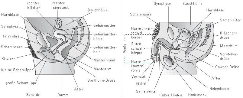 abbildung männliche geschlechtsorgane