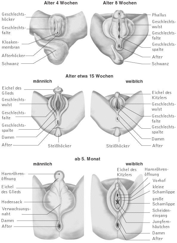 Geschlechtsentwicklung Embryo