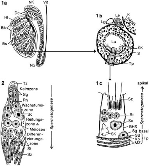 Hoden - Kompaktlexikon der Biologie