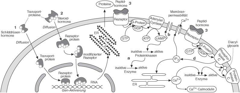 Prinzipien der verschiedenen primärwirkungen von hormonen an der