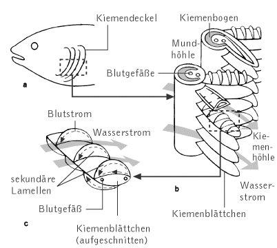 wissenschaft-online > Kompaktlexikon der Biologie > Kiemen: Abbildung II