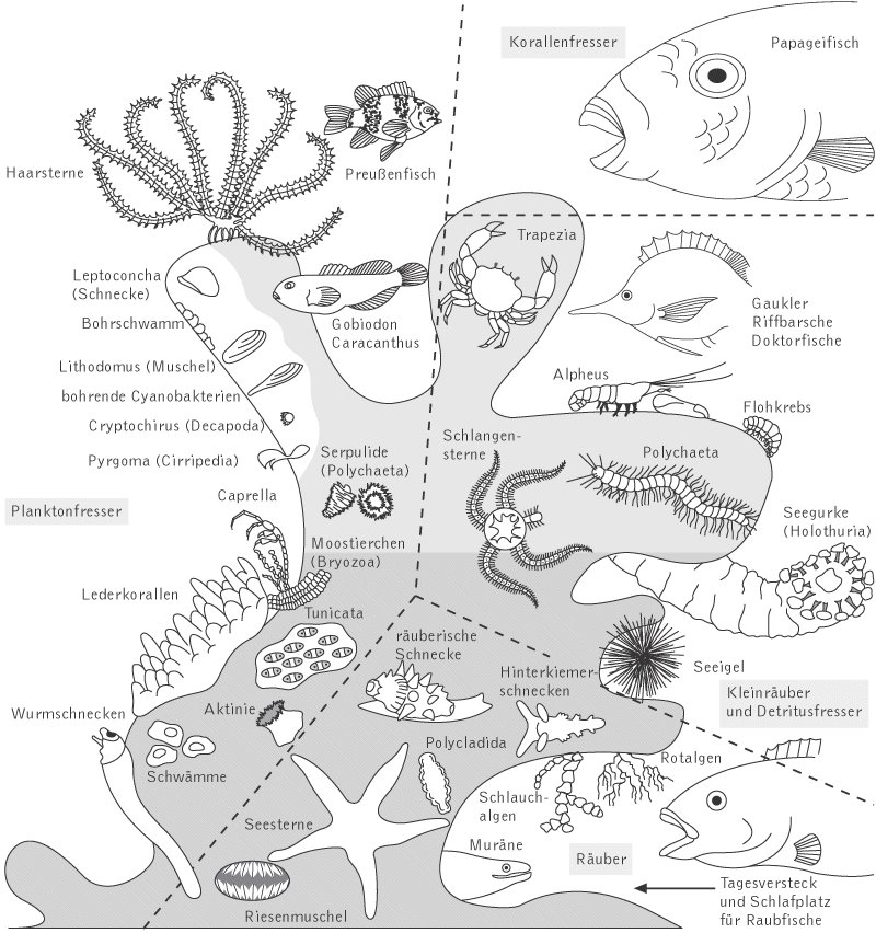 Korallen Aufbau