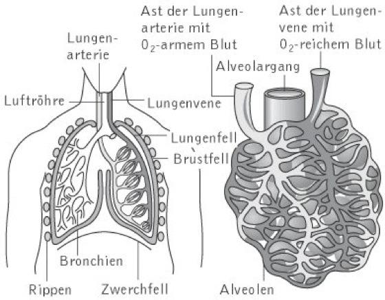 Arbeitsblatt Lunge Und Atemwege : Lunge kompaktlexikon der biologie
