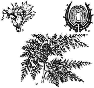 Lyginopteridopsida lyginopteris oldhamia aus dem oberkarbon a