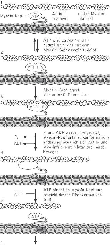 Muskel - Kompaktlexikon der Biologie