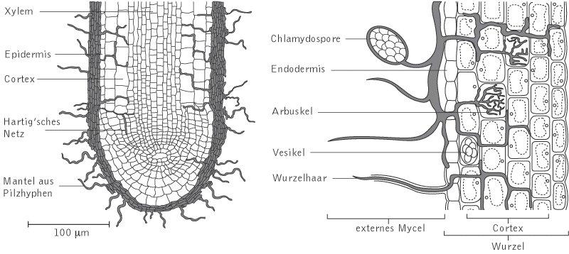 Mykorrhiza kompaktlexikon der biologie for Was ist boden definition