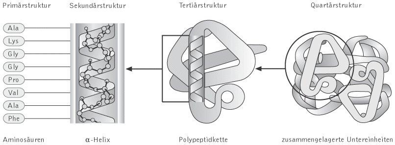 Proteine - Kompaktlexikon der Biologie