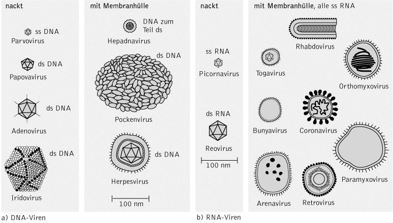 Viren Bakterien Unterschied Gemeinsamkeiten