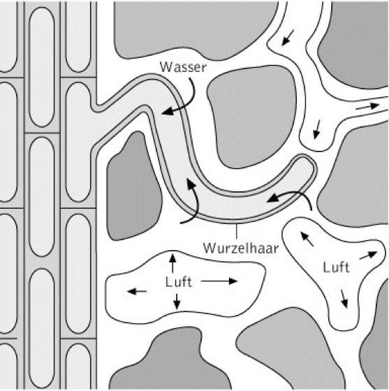 Arbeitsblatt Zelle Biologie : Wasseraufnahme kompaktlexikon der biologie