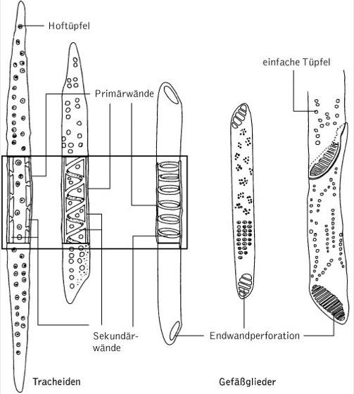 Xylem - Kompaktlexikon der Biologie