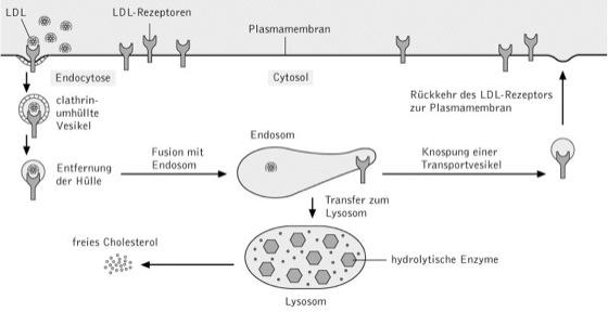 rezeptorvermittelte Endocytose