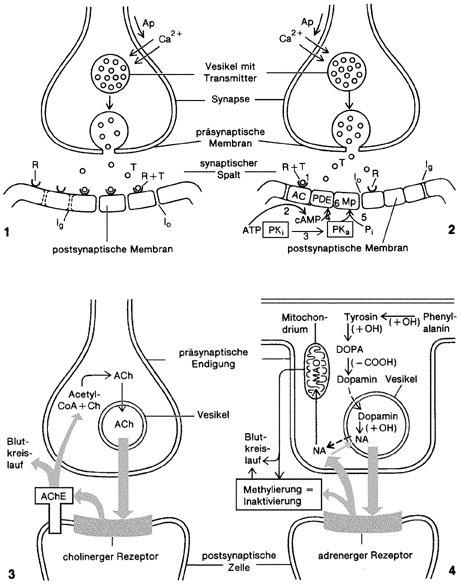 Synapse Kompaktlexikon Der Biologie