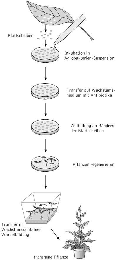 transgene pflanzen kompaktlexikon der biologie - Einkeimblattrige Pflanzen Beispiele
