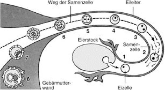 spermien das ei zu befruchten