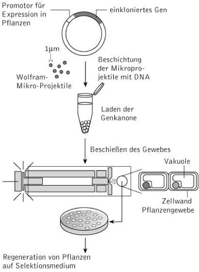 biolistische transformation kompaktlexikon der biologie. Black Bedroom Furniture Sets. Home Design Ideas