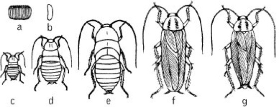 Blattariae Kompaktlexikon Der Biologie